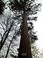 Coutances - Jardin des plantes, Sequoia (2).JPG