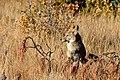 Coyote (5500016607).jpg
