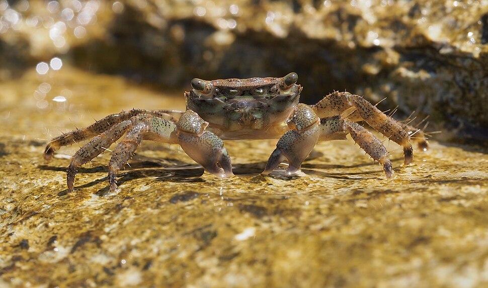 Crab (Pachygrapsus marmoratus) on Istrian coast (Adriatic sea)