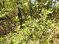 Crataegus monogyna (Rosaceae) 02.jpg