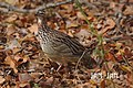 Crested Francolin (47333062).jpeg