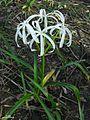 Crinum americanum - Flickr - pellaea.jpg