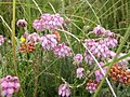 Cross-leaved heath, Erica tetralix - geograph.org.uk - 500445.jpg