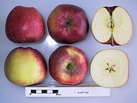 Cross section of Chieftain, National Fruit Collection (acc. 1974-053).jpg
