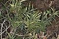 Crossosoma californicum (California rockflower) (6739257911).jpg