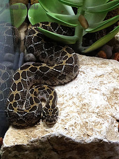 <i>Crotalus polystictus</i> species of reptile