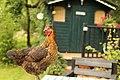 Crymych chicken (Unsplash).jpg