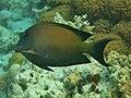 Ctenochaetus striatus Maldives.JPG