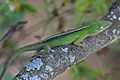 Cuban Green Anole (Anolis porcatus) (8591590753).jpg