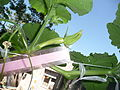 Cucurbita moschata (zapallo espontáneo) yema floral femenina F06 dia-01 orientación regla.JPG