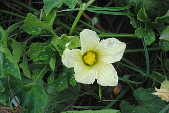 Cucurbita okeechobeensis - Female flower at anthesis of Cucurbita okeechobeensis