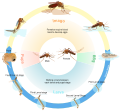 Culex mosquito life cycle en.svg