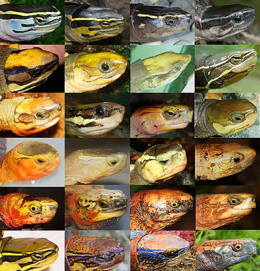 Cuora species head collage