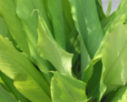 Curcuma longa (leaves).png