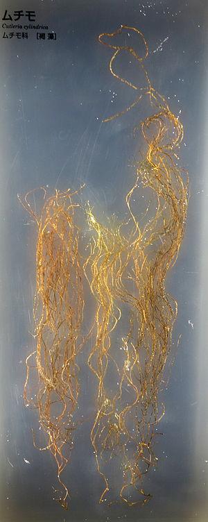 Cutleriales - Cutleria cylindrica