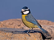 Cyanistes caeruleus -Gran Canaria, Canary Islands, Spain-8.jpg