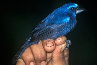 Blue-black grosbeak species of bird