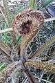 Cyathea cooperi (Hook. ex F.Muell.) Domin (AM AK341286).jpg