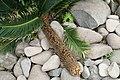 Cycas revoluta 31zz.jpg