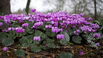 Cyclamen coum - A form with plain leaves at an estate in Dorset, England