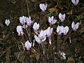 Cyclamen hederifolium group 01.jpg