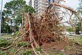 Cyclone Marcus in Darwin – Roots of huge uprooted tree 03.jpg