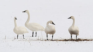 Tundra swan - Adult whistling swans (C. c. columbianus). Click to magnify for seeing variation in the yellow bill spots.