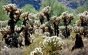 Cylindropuntia bigelovii in White Tank Mountains Reg Park 01 - 60176.jpg