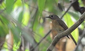 Pale-chinned blue flycatcher - at Bherjan-Borajan-Padumoni Wildlife Sanctuary