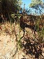 Cyperus gilesii.jpg