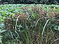 Cyperus ohwii and Nelumbo nucifera in north moat of Fukuoka Castle 4.jpg