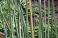 Cyperus papyrus 25zz.jpg