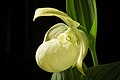 Cypripedium macranthos '1904 Rebun' Sw., Kongl. Vetensk. Acad. Nya Handl. 21 251 (1800) (40767689563).jpg