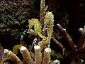DSC28228, Zebrasnout Seahorse, Monterey Bay Aquarium, Monterey, California, USA (6920273702).jpg