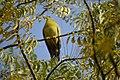 DSC 0344 green pigeon IHBAS by Dr P K Upadhyay.jpg