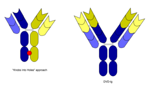 """Bispecific monoclonal antibody - The """"knobs into holes"""" approach for manufacturing IgG-like bsMabs is shown on the left, while a diagram depicting the DVD-Ig format is on the right. The red dot indicates a possible site for introducing mutations in the heavy chain. Blue and yellow correspond to separate monoclonal antibodies."""