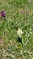 Dactylorhiza sambucina 17.jpg