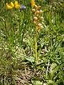 Dactylorhiza viridis 001.jpg