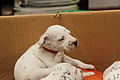 Dalmatian puppy, three weeks-4.JPG