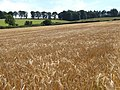 Dancing barley - near Thickside - geograph.org.uk - 497222.jpg