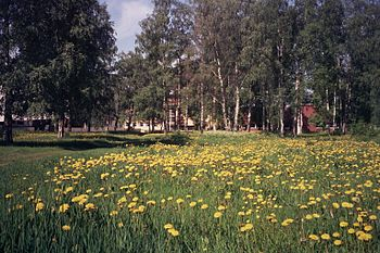 English: Dandelions in the Tuira district of t...