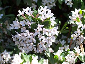 Daphne ×burkwoodii (= Daphne caucasica × Daphne cneorum)
