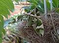 Daphnis nerii (Thailand, Nonthaburi, Bang Bua Thong, Soi Mu Ban Bua Thong, 21.xii .2014) (D. Kruger).jpg