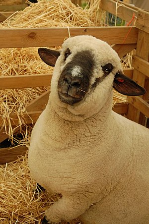 shropshire breed of sheep
