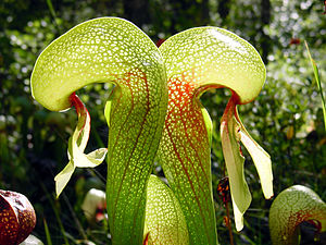 Darlingtonia californica ne1.JPG