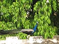 Dayalbagh Peacock.jpg