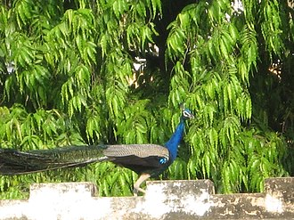 Dayalbagh - Peacocks are common in the residential areas of Dayalbagh
