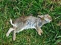 Dead rabbit, near Cuckoo's Knob - geograph.org.uk - 1326830.jpg