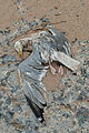 Dead seagull (8442639268).jpg