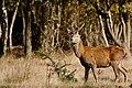 Deer - RSPB Minsmere (37577003870).jpg